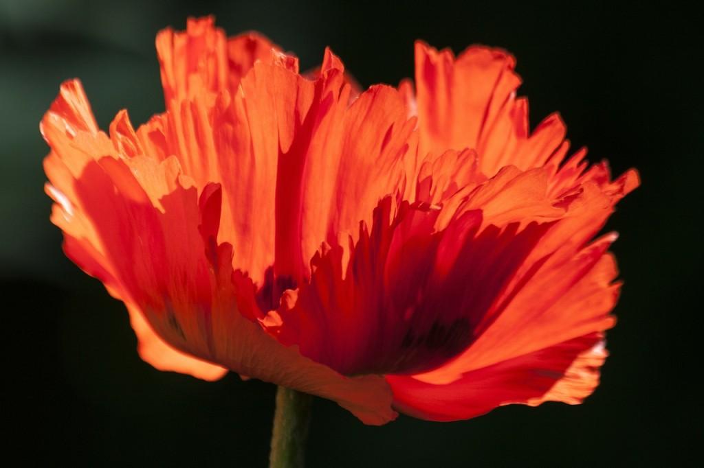 ornamental-poppies-139409_1280