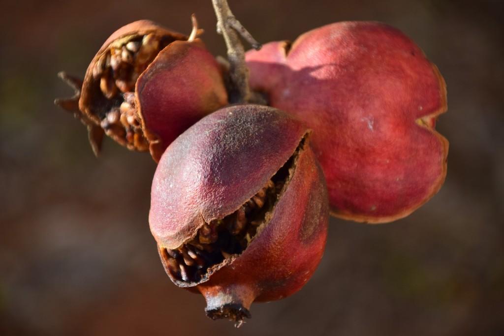 pomegranate-1757227_1920